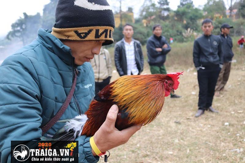 huấn luyện gà chiến của mình