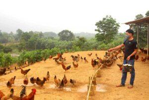 Giá gà giảm mạnh mùa dịch covid19