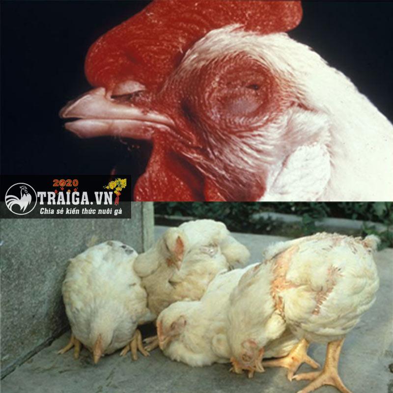 bệnh dịch tả gà