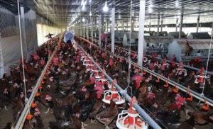 giá thịt gà giảm mạnh tại trà vinh