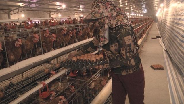 chăn nuôi gà cho nghe nhạc kiếm tiền tỷ