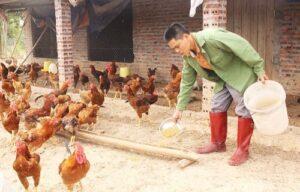 Cho gà ăn tỏi kiếm trăm triệu mỗi năm