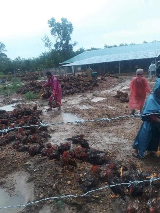 Hộ nuôi gà bị thiệt hai do bão