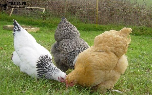 Trứng gà kỳ lân