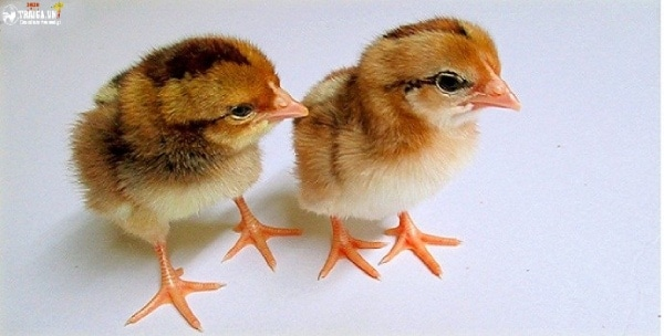 Các triệu chứng khi gà bị khô chân
