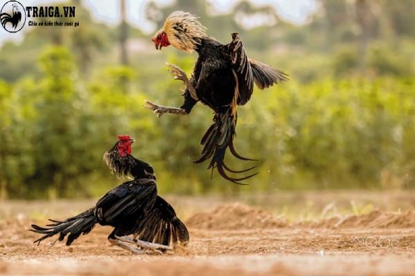 Ảnh gà chọi đẹp nhất Việt Nam
