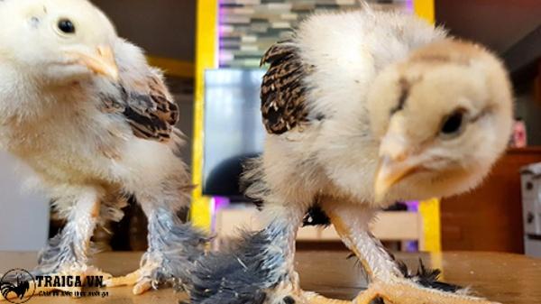 Cách nuôi gà kỳ lân