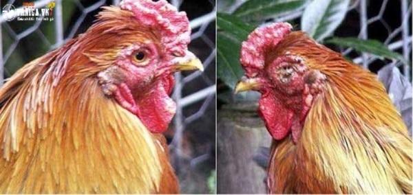 Các triệu chứng khi gà mắc bệnh đậu gà