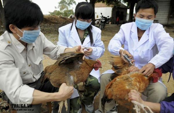 chữa trị gà bị sủi bọt ở mắt