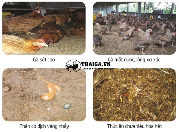 Điều trị viêm ruột hoại tử trên gà