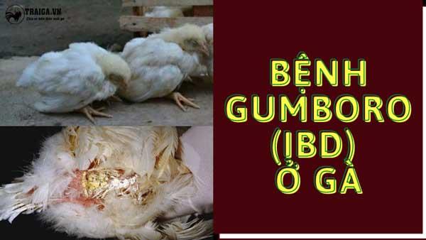 Bệnh Gumboro ở gà và cách khắc phục