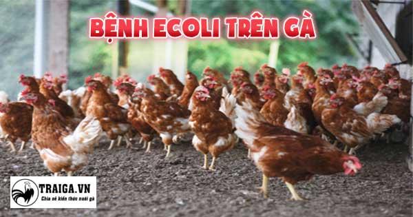 Bệnh ecoli trên gà - phương pháp phòng trị hiệu quả