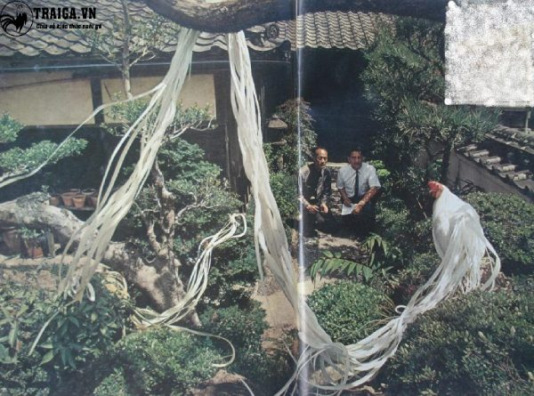 Gà tre Tân Châu đuôi dài
