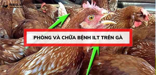 phòng và chữa bệnh ilt ở gà