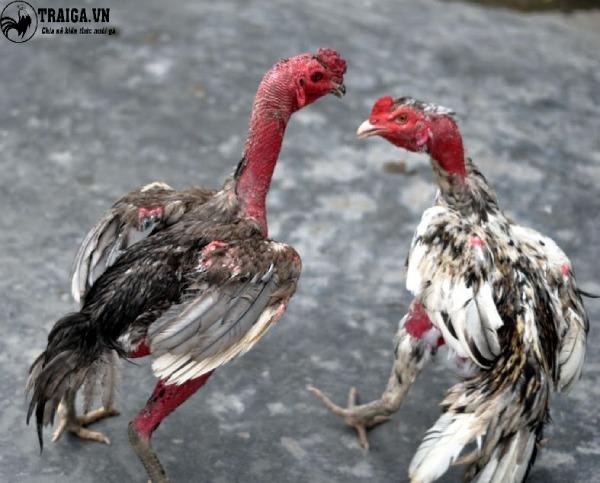 Cách chăm sóc gà ngũ sắc