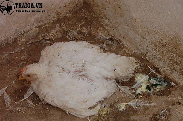 Nguyên nhân và cách trị bệnh ủ rũ ở gà con