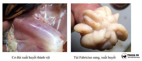 bệnh gumboro ở gà là bệnh gì
