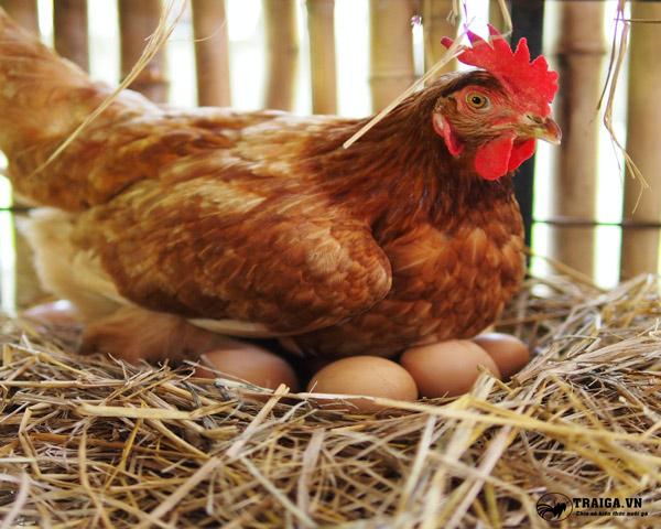 ưu điểm của gà