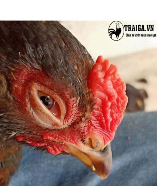 Cách chữa gà bị sủi bọt ở mắt