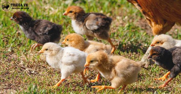 Cách nuôi gà con 1 tháng tuổi