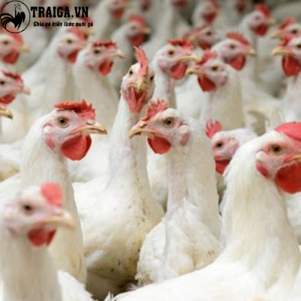 Sản lượng trứng gà lơ go mỗi năm khoảng 280 quả.