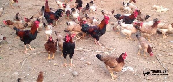 giống gà mía sơn tây