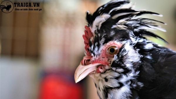 Nguồn gốc của gà hoàng gia
