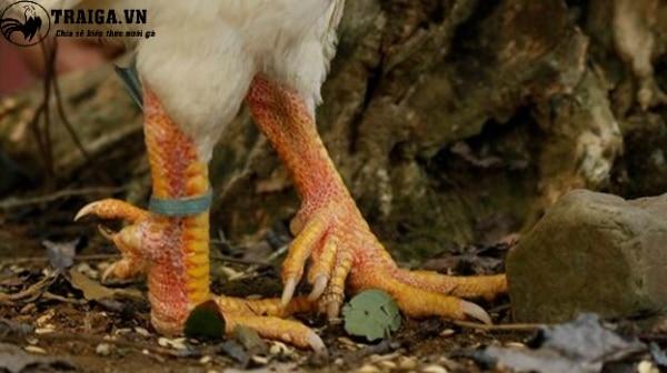 Cách chăm sóc gà chín cựa