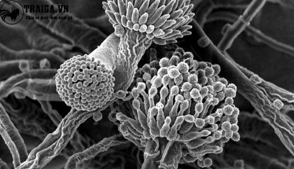 Nguyên nhân hình thành bệnh nấm phổi ở gà