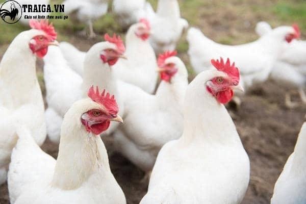 Năng suất trứng của giống gà Lơ go