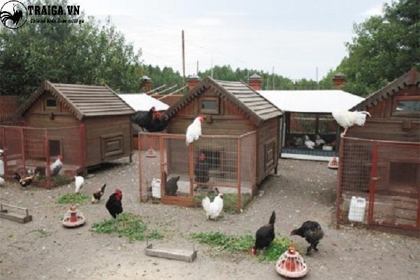 Chuồng nuôi gà Leghorn.