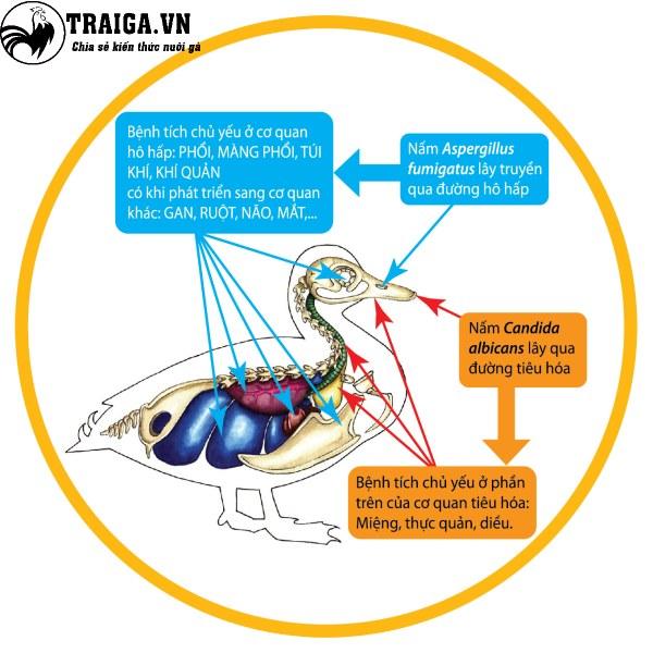 Triệu chứng khi gà mắc bệnh nấm phổi