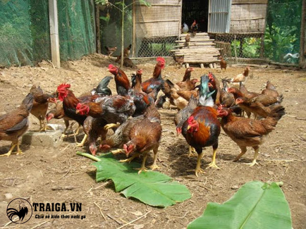 nuôi gà thả vườn kiểu mới