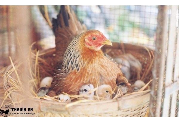 Nuôi gà đẻ trứng