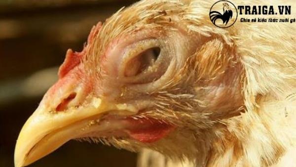 Bệnh đầu đen trên gà