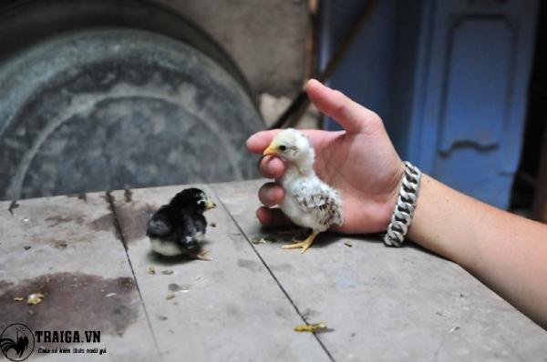 Cách nuôi gà tí hon