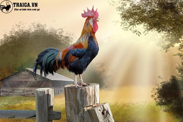 gà rừng lông đỏ