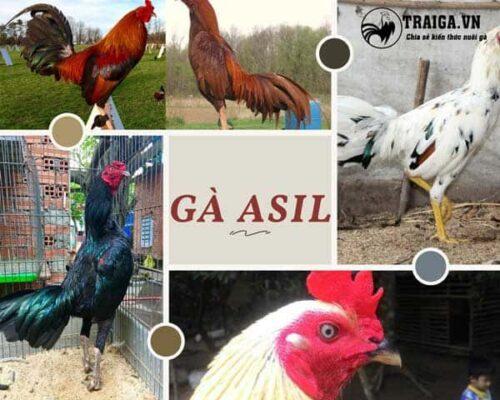 Gà asil - Siêu anh hùng kê số 1 trong làng chọi gà đến từ Ấn Độ