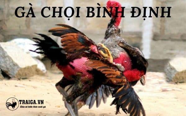 Gà chọi Bình Định - Hùng kê đến từ cái nôi võ thuật