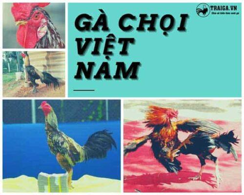 Top 6 lò đào tạo gà chọi Việt Nam vang danh với những chiến kê huyền thoại