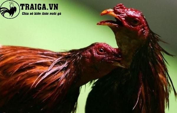 Những lưu ý về cách làm cho gà chọi máu chiến