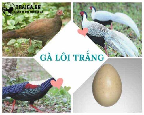 Gà lôi trắng - Giống nửa gà nửa chim quý hiếm tại Việt Nam