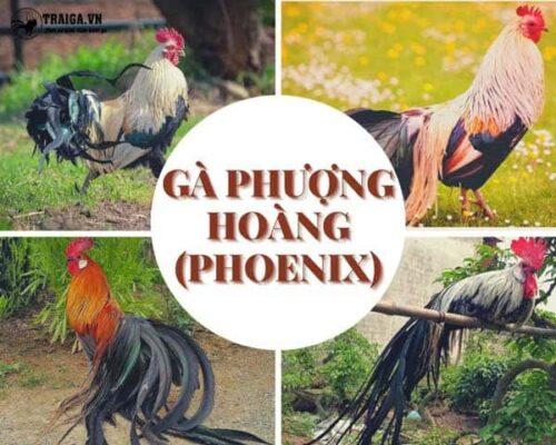 Gà phượng hoàng (Phoenix) - Kê quý tộc đuôi dài của phương Tây