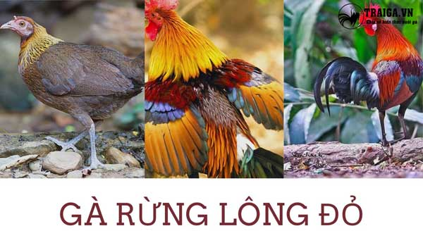 Gà rừng lông đỏ - Mỹ kê sắc đỏ Việt Nam nổi tiếng trên toàn thế giới