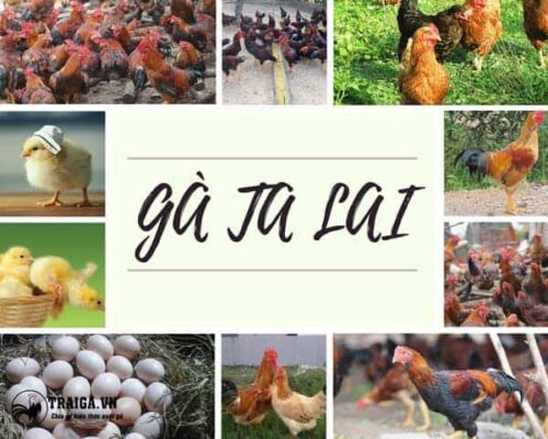 Gà ta lai - Dòng kê lai tạo được Nhà nước Việt Nam công nhận