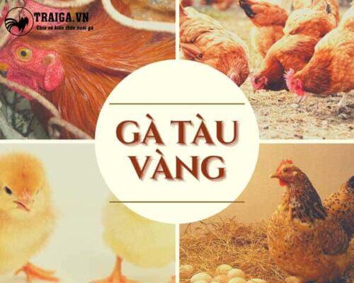 Nuôi gà tàu vàng đạt hiệu quả kinh tế cao trong chăn nuôi