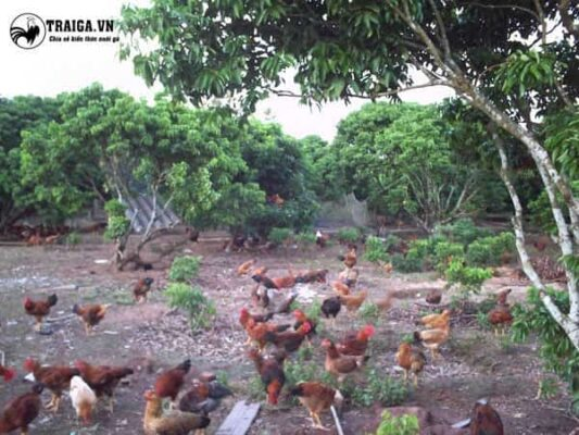 Gà thả vườn nuôi kiểu mới – Bí quyết đem lại thu nhập cao