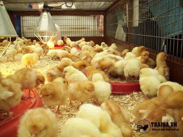 cách cho gà thả vườn ăn uống