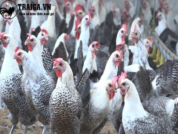 Tỷ lệ gà đẻ trứng