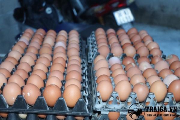 Cách nuôi gà siêu trứng